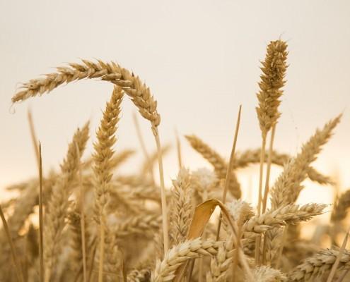 wheat-867612_1280